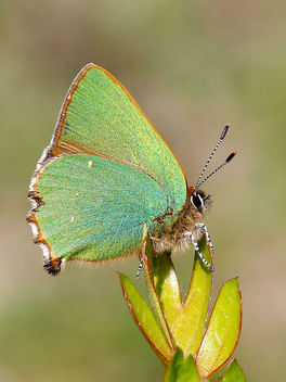 Green Hairstreak - image gratuit #434435