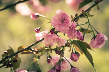 Cherry blossoms - Close up! - image gratuit #434485