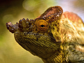 The Eye of a Chameleon - Free image #434525