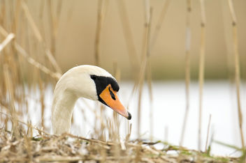 Swan in the nest - image #437325 gratis