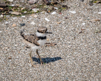 Killdeer Chick - Free image #437565