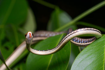 Dendrelaphis pictus, Common bronzeback - Kaeng Krachan District, Phetchaburi - image #437595 gratis