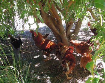 Chile (Valparaiso) Chickens collecting harmful insects in organic vineyards - image gratuit #438325