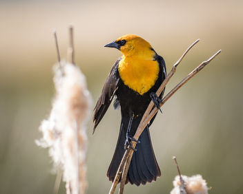 Yellow-headed Blackbird (m) - Free image #438875