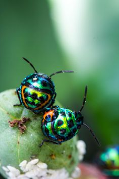 Two shield bug - Kostenloses image #438985