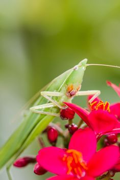 long head grasshopper - image gratuit #439005