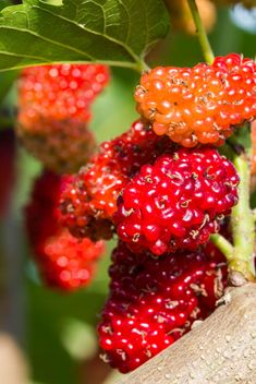 malberry on tree - image gratuit #439055