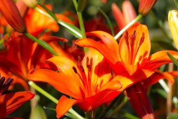 Orange Lilly - Kostenloses image #439135