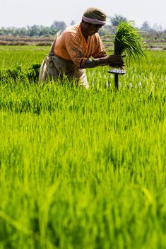 Rice planting in Thailand - бесплатный image #439145