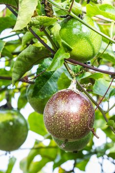 passion fruit - image #439245 gratis