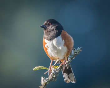 Spotted Towhee - Free image #440675
