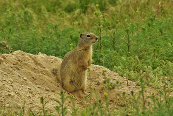 Prairie Dog Lookout - Free image #441275