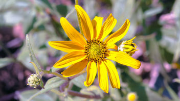 California brittlebush - бесплатный image #441515