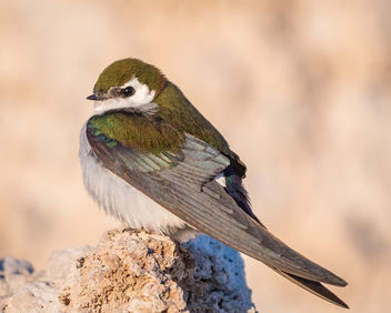 Violet-green Swallow (m) perching on Tufa - image #442545 gratis
