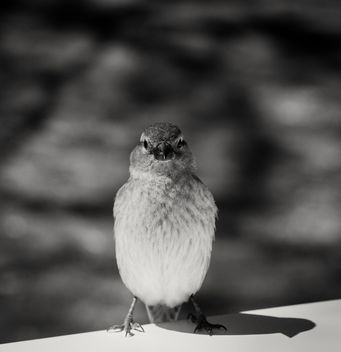 Little Sparrow - image #442555 gratis