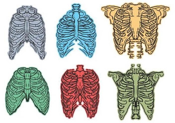 Ribcage sketch vector set - бесплатный vector #443265