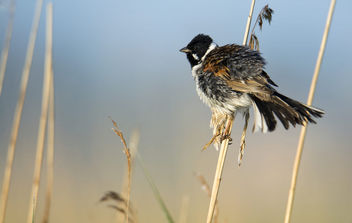 Reed bunting, Emberiza schoeniclus, Potrzos - Free image #443745