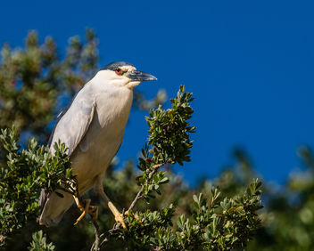 Black-crowned Night Heron - image #445665 gratis