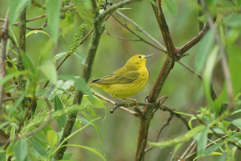 Yellow Bird at Horicon Marsh - Free image #446855