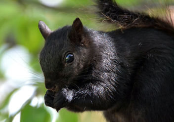 Black Mama Squirrel is back! - image gratuit #446955