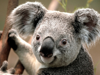 Close-up of a koala face - Kostenloses image #447015