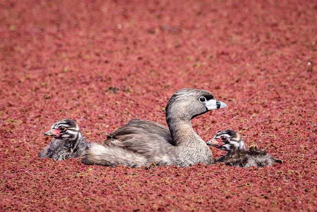 Pied-billed Grebe family in water ferns - Free image #447125