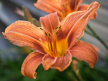 Orange daylily - image gratuit #447155