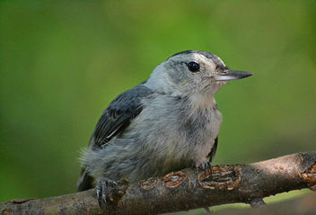 Nuthatch lounging on a hot humid day - бесплатный image #447185