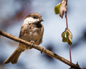 Chestnut-backed Chickadee - image #447255 gratis