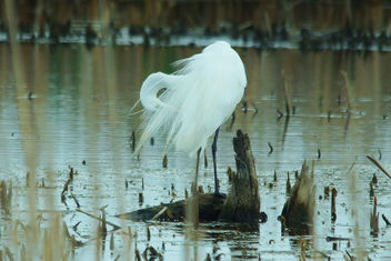 Primping Egret at Horicon Marsh - image #447395 gratis