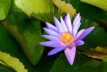 Water Lilies - Free image #447715
