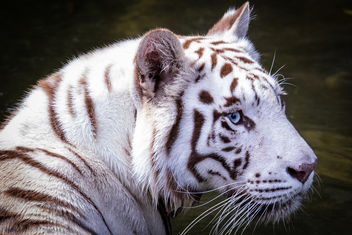 White Tiger, Singapore Zoo - image gratuit #448215
