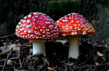Amanita muscaria, Fly agaric. - Kostenloses image #448245