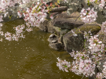 Turtles with springtime cherry season - image gratuit #448395