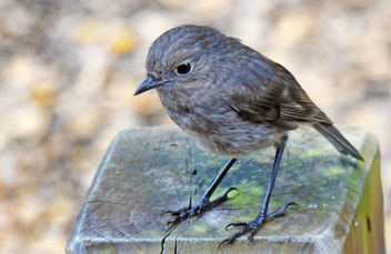 NZ South Island robin (Petroica australis) - Free image #448405