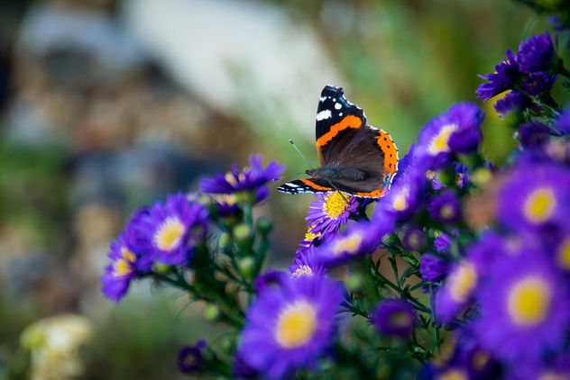 Red Admiral - Kostenloses image #448605