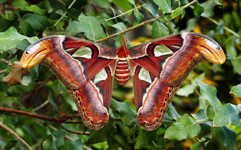 Atlas moth.(Attacus atlas) - image gratuit #448895