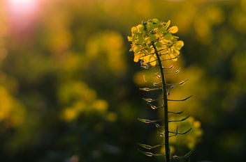 Rapeseed in the Sunset - image #449335 gratis