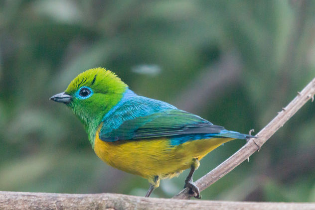 Blue-naped Chlorophonia [77/100] - бесплатный image #449385