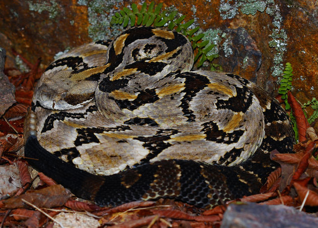 Timber Rattlesnake (Crotalus horridus) - бесплатный image #449395