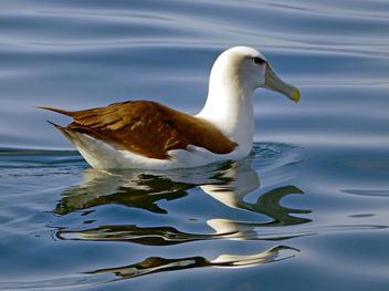 The white-capped albatross (Thalassarche cauta steadi) - image gratuit #450075
