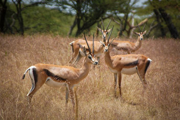 Ethiopian gazelles obviously concerned by the foreign intruder. - Kostenloses image #450275