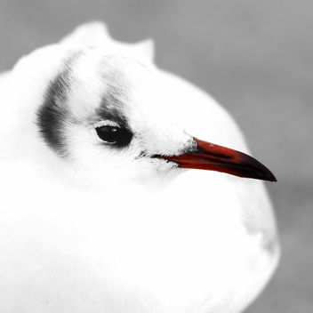 Black-headed Gull - image #450385 gratis