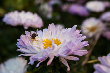 Bee on chrysanthemum flowers - Kostenloses image #450665