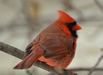 Finally Got A Cardinal Photo! - image gratuit #450805