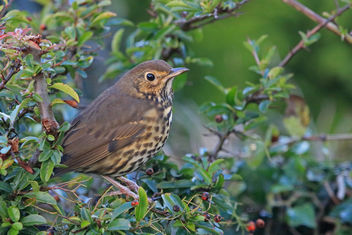 Song Thrush - Free image #450975
