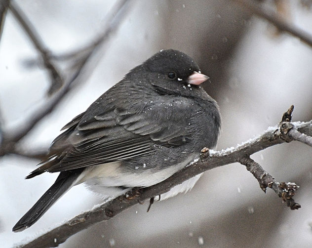 Finally Got A Shot Of The Elusive Dark Eyed Junco! - Free image #451215