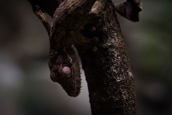 Leaf-tailed Gecko, Singapore Zoo - Free image #451315