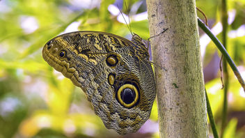 Owl Butterfly - Free image #451335