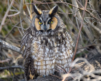 Sleepy Long-eared Owl - image gratuit #451415